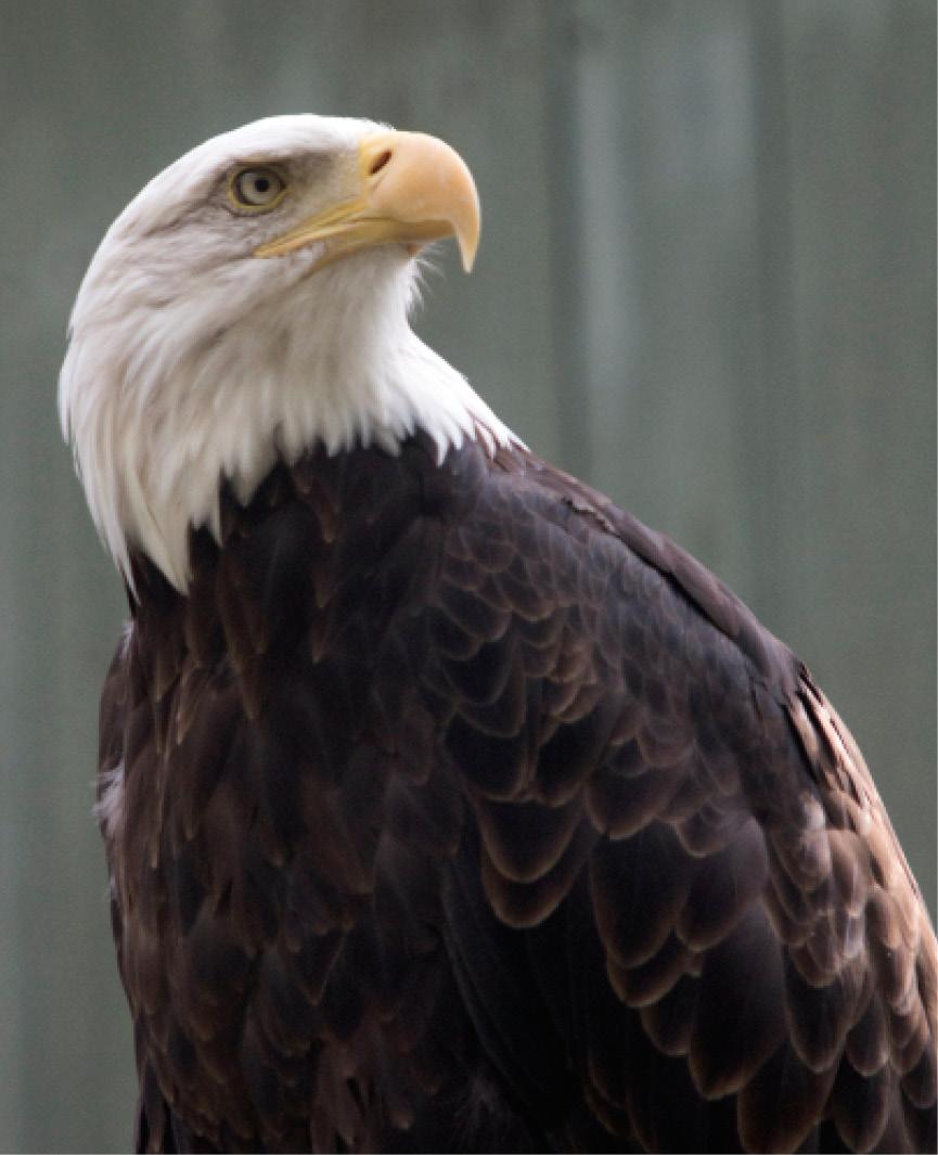 Bald Eagle Elmwood