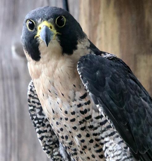 Peregrine Falcon Fairlee