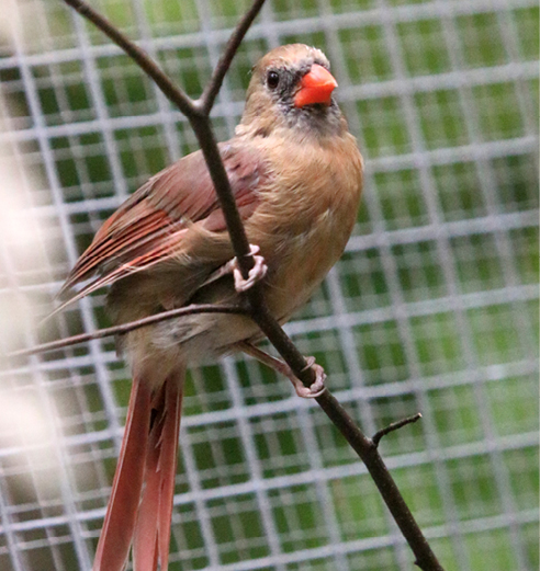Northern Cardinal Wilder