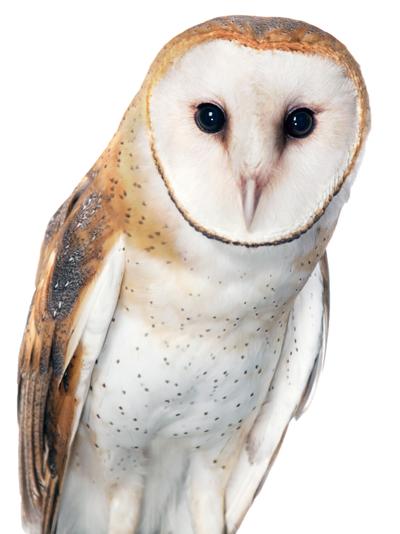 Aurora-Barn-Owl